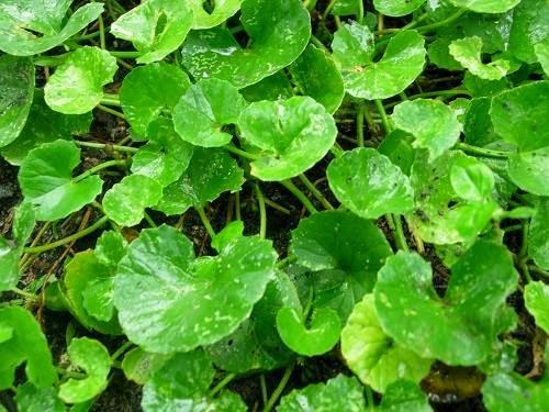 1 khasiat daun pegagan