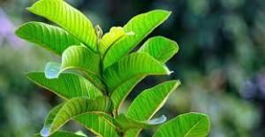 4 manfaat daun jambu