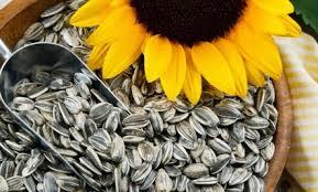 8 manfaat biji bunga matahari