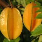Ini Dia khasiat dan manfaat buah belimbing untuk kesehatan