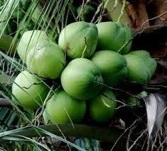 1 khasiat kelapa ijo