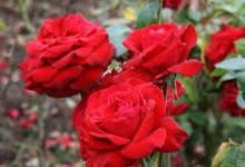 ini dia manfaat bunga mawar