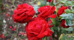 1 manfaat bunga mawar