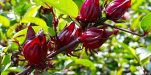 1 manfaat rosella