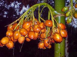 10 manfaat buah pinang
