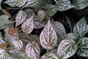 3 khasiat daun sirih merah