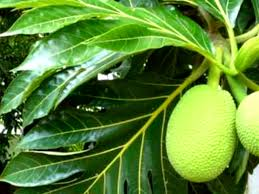 3 khasiat daun sukun