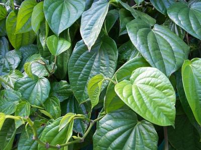 4 manfaat daun sirih hijau