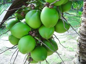 5 khasiat kelapa muda