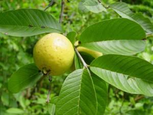 6 manfaat buah jambu biji